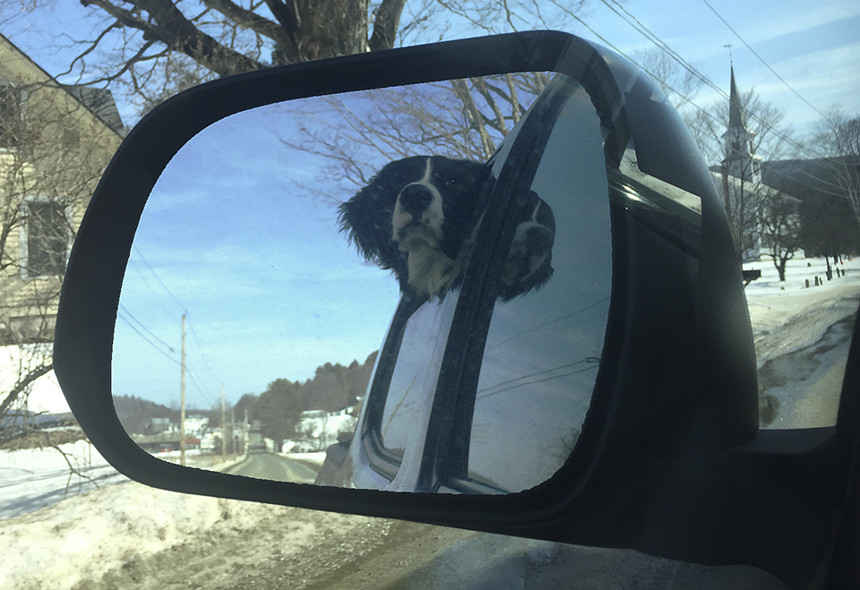 Blue Bernese Mountain Dog Goes for a Ride